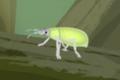 Golden-headed Weevil