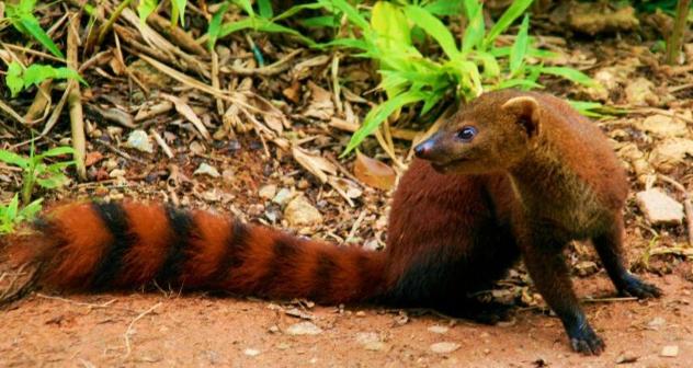 Ring-tailed Mongoose | Wild Kratts Wiki | Fandom