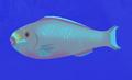Queen Parrotfish AN