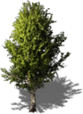 Resource Tree Birch.png