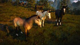 Domesticated horses near Novigrad.jpg