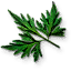 Tw3 fools parsley leaves.png
