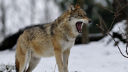 5-ways-to-survive-a-wolf-attack