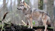 Der-wolf