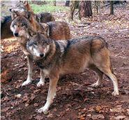 280-wolf07