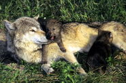 Gray-wolf-and-pups-credit-larry-allen