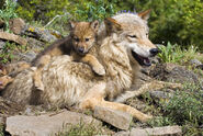 Wolfsrudel-welpen