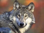 Grey-wolf-v4