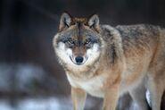 Canis lupus 2 (Martin Mecnarowski)