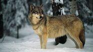 Gray-wolf-snow.jpg.adapt.945.1