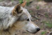 Canis lupus Kopf