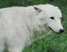 Arctic wolf cub 20120827 1 by furlined-d5pyghc.jpg