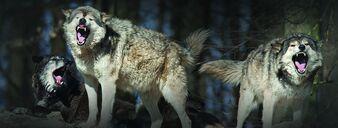 WolfPack-image-980x370.jpg