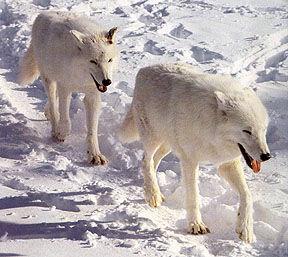 Hbaywolf.jpg
