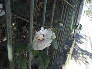 Hibiscus G 4050