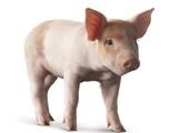 Bert Pig
