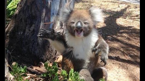 Koala cries because Pistachio roasted him
