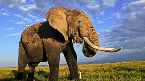 AFRICAN_ANIMALS_and_the_Emperor_Elephant_Nature_Wildlife_Documentary