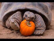 Halloween Party For Galápagos Tortoise Seniors