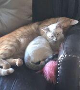 Sapnap's cats