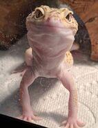 Doug the lizard.