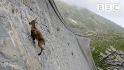 The_incredible_ibex_defies_gravity_and_climbs_a_dam_Forces_of_Nature_with_Brian_Cox_-_BBC