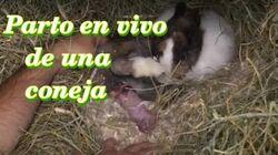 CONEJOS_-_El_parto_de_una_coneja_(2ª_parte)._¿Cómo_paren_las_conejas?