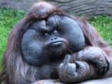 Mr. Orangutan Who Gives You The Middle Finger