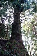Cedar of Yushima