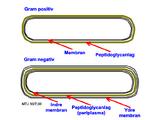 Gram negative og gram positive bakterier