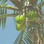 BotW Hyrule Compendium Palm Fruit.png