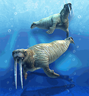Pacific Walrus.png