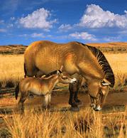 ZT1 - Przewalski's Wild Horse.png