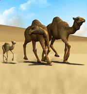 Dromedary Camel.png