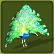 Common Peafowl.jpg