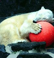 Maganet the Polar Bear.png