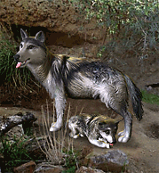 Mexican Gray Wolf.png