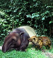 Malaysian Tapir.png