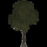 Elm Tree (Thom)