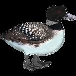 Common Loon (Ulquiorra)