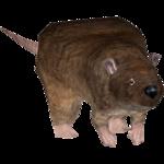 Common Rat (Octavio17493)