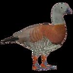 Ashy-headed Goose (Ghost)