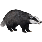 European Badger (ZTABC Team)