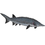 European Sea Sturgeon (HENDRIX)/Version 1