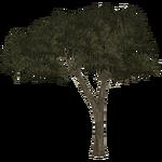 Acacias (Thom)