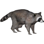 Eastern Raccoon (Zeagle Designs)