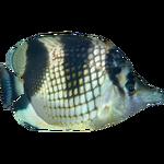 Asian Butterflyfish (Dycki1231)