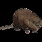 American Beaver (Aurora Designs)