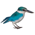 Collared Kingfisher (Nessich)