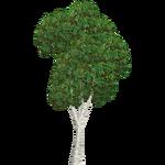 Silver Birch (Ulquiorra)